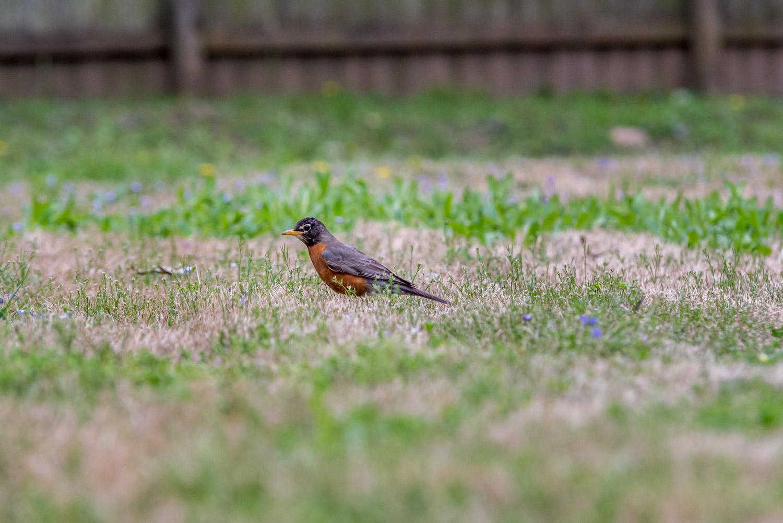 American robin (Turdus migratorius) looking for earthworms
