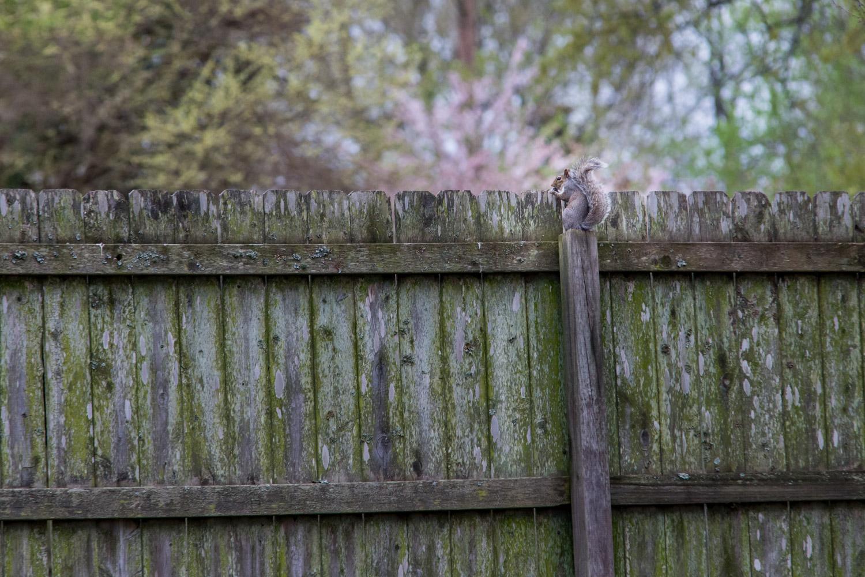 Eastern Gray Squirrel  (Sciurus carolinensis) sitting on a fence