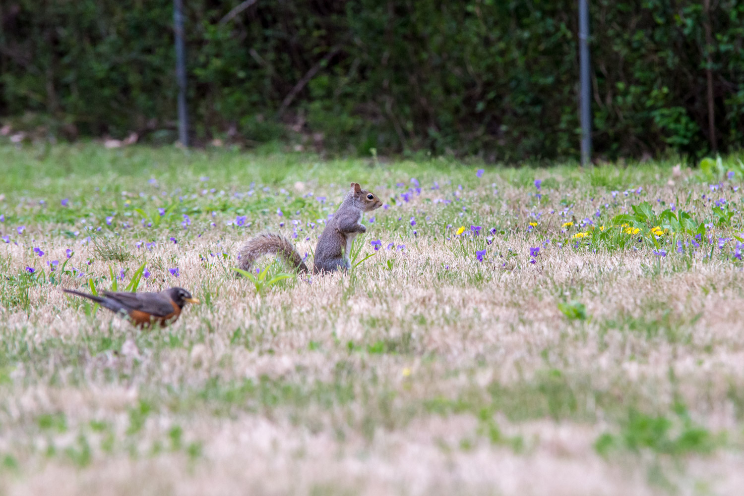 Eastern Gray Squirrel  and American Robin