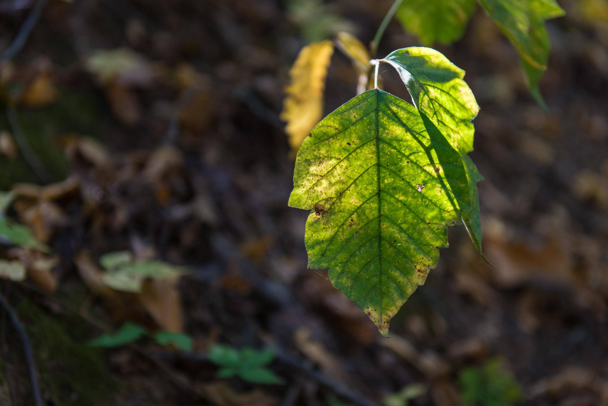 Still Green in Autumn - Fort Pillow State Park, TN