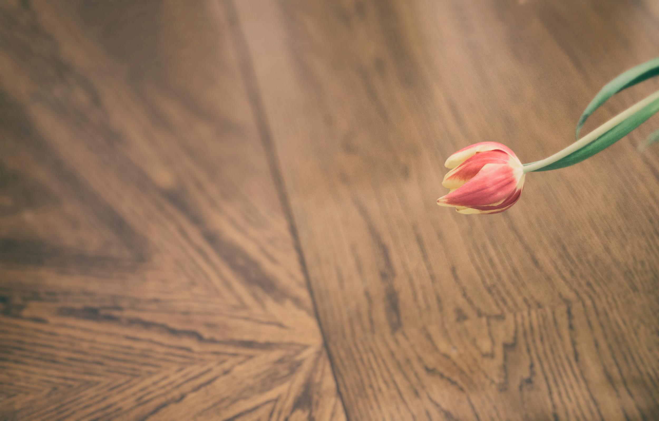 Lone tulip