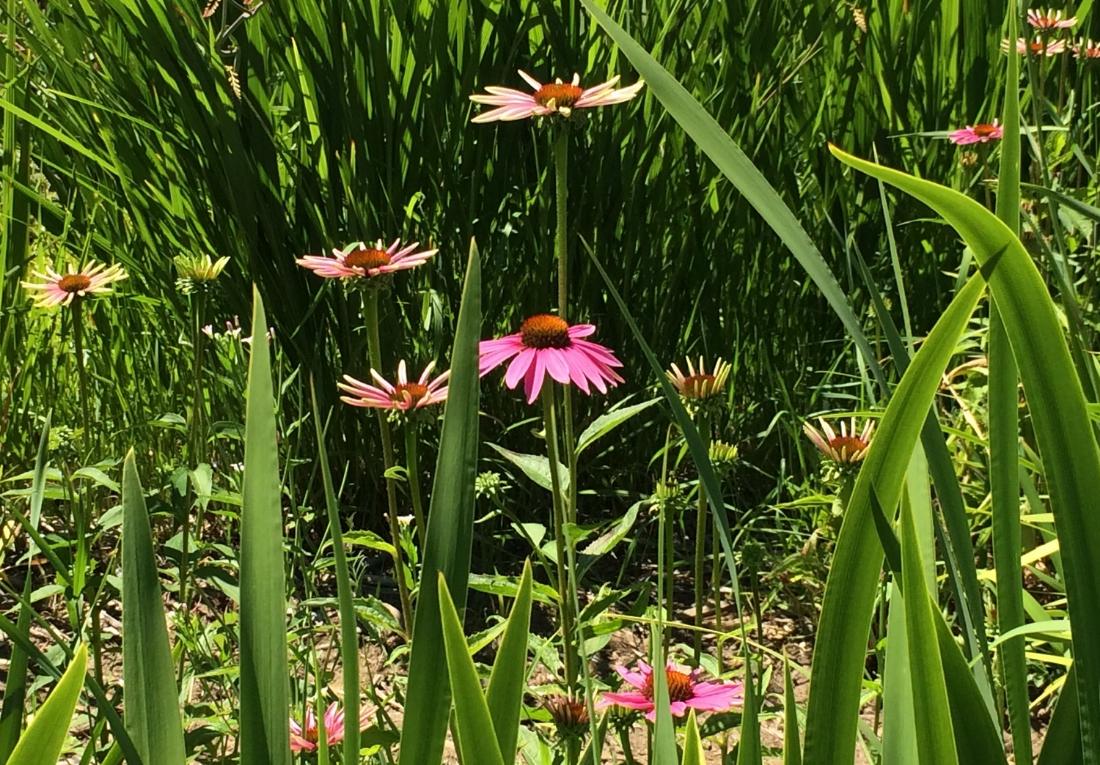 Hooray for Rain - echinacea at The Gorge White House