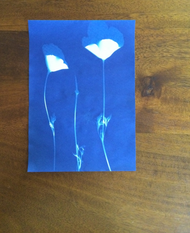 Hooray for Rain - Poppy Cyanotype
