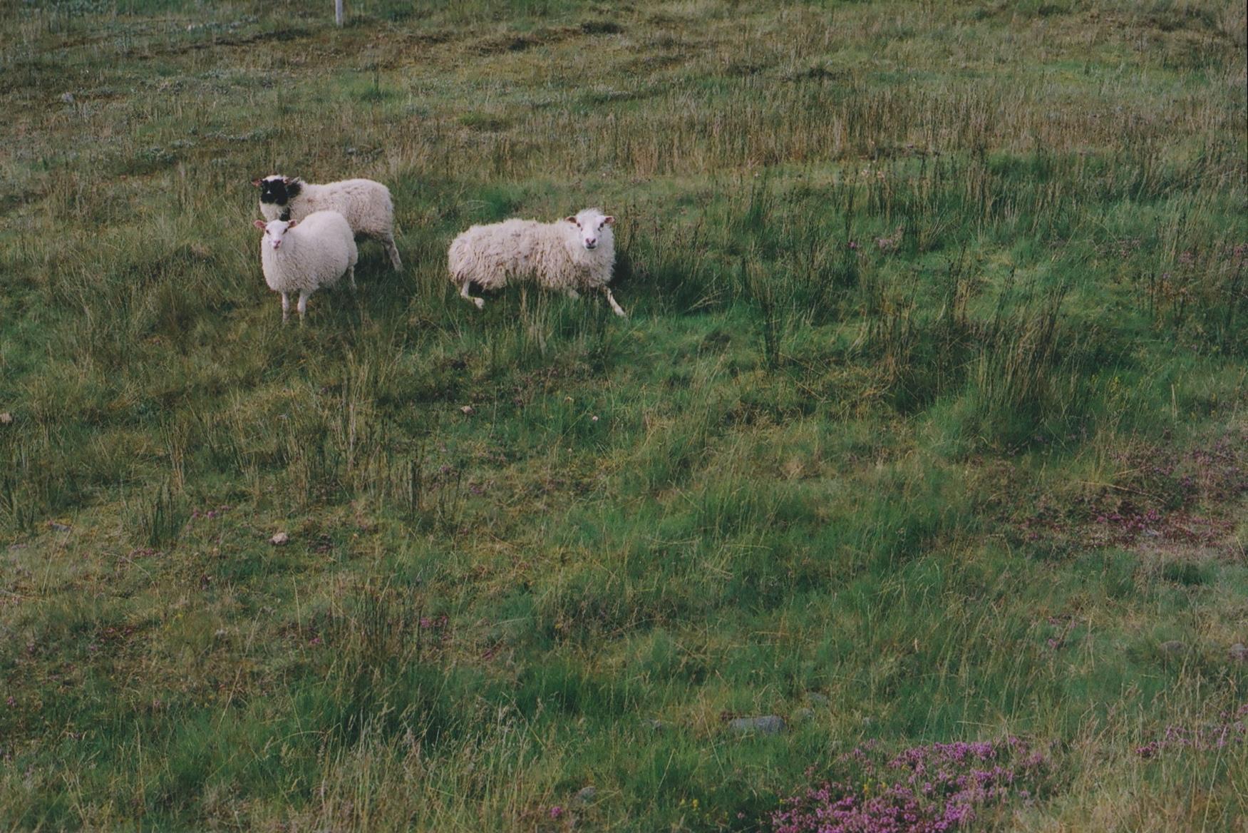 Sheep & Blobek/Arrival In The Westfjörds, Iceland