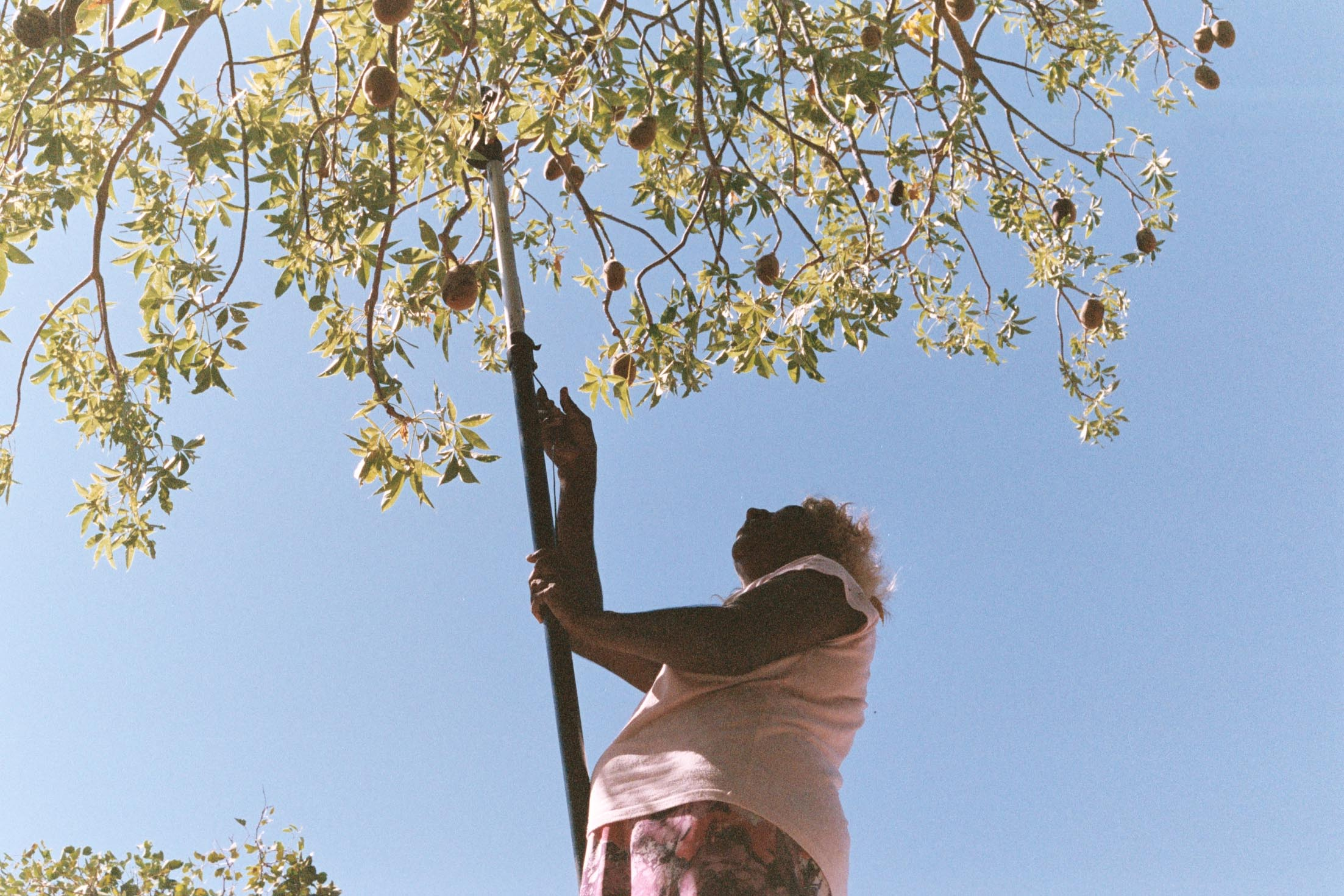 Boab Nut Harvest, Ngurtuwarta, WA
