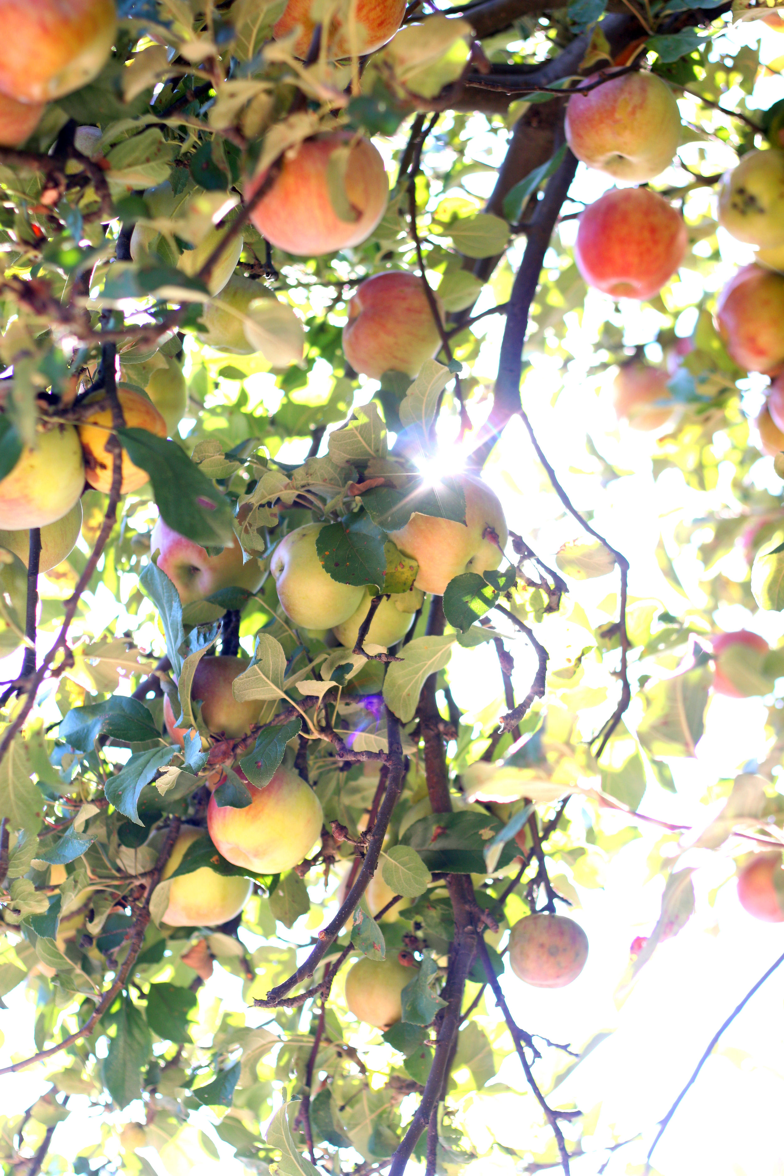 Apples- Enchanting Elegance