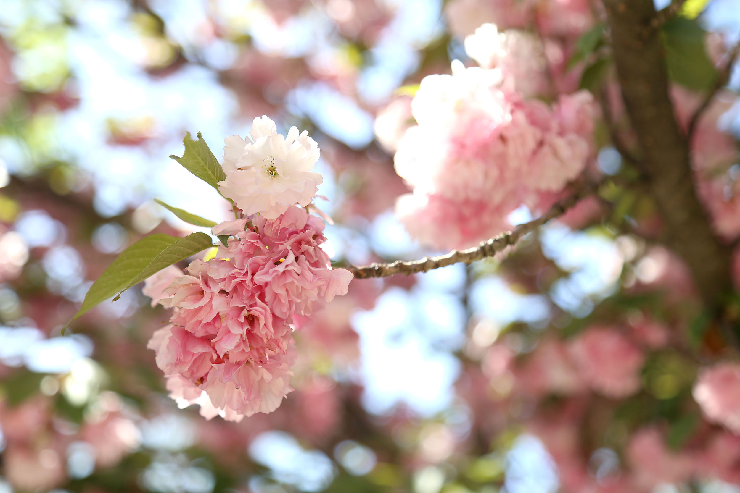 Cherry Blossoms- Enchanting Elegance