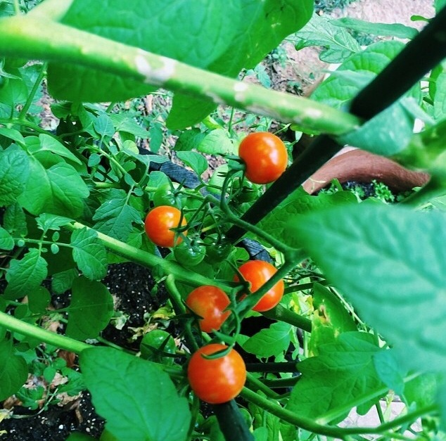 Cherry tomatoes originated in Peru but the most popular kind we grow in our gardens today are derived from an Israeli innovation- the tomaccio. This species was developed specifically to withstand hot climates, have a slower ripening speed, and longer shelf life.