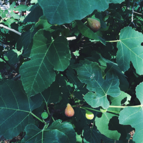 Verdict: Backyard figs are the best kind of figs.