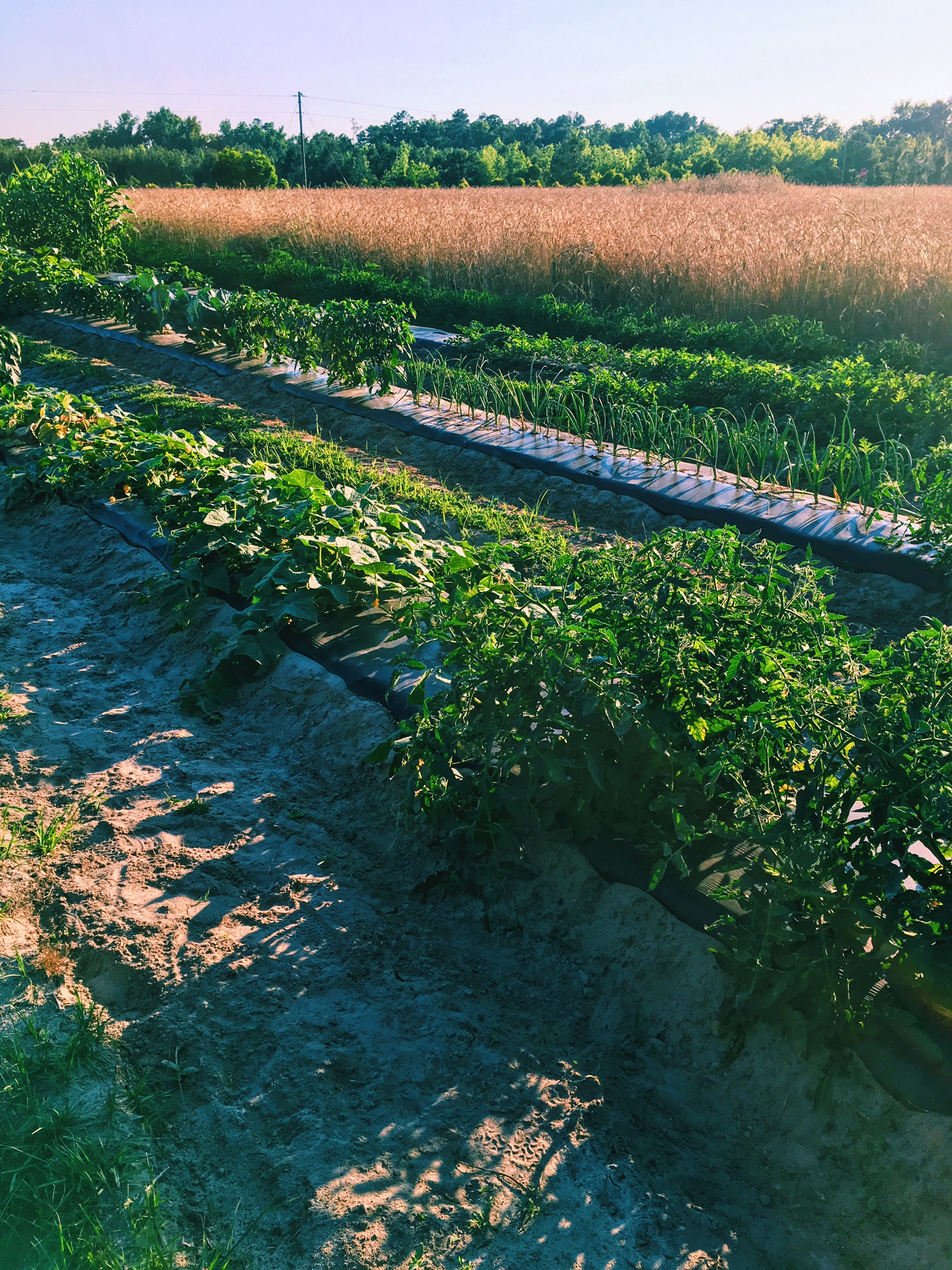 Rows and rows of corn, watermelon, peppers, onions....