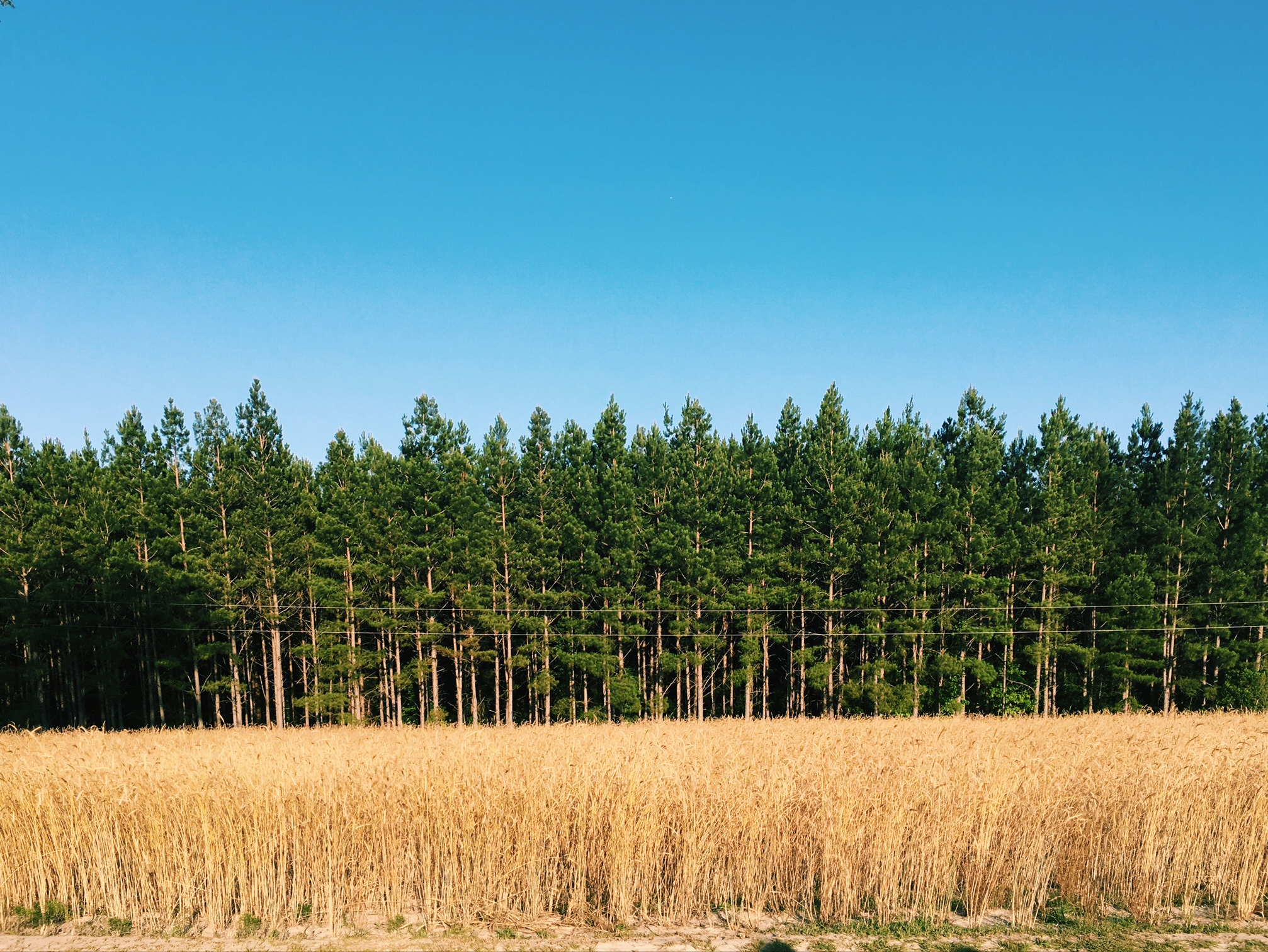 i love the stark contrasts in the country. the line of rye against the trees.
