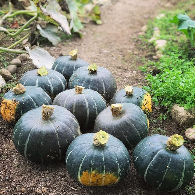 Harvested the first of our winter squash today: Bonbon Buttercups. We left an inch on the stem and are putting them in the hoop house for about a week to cure.