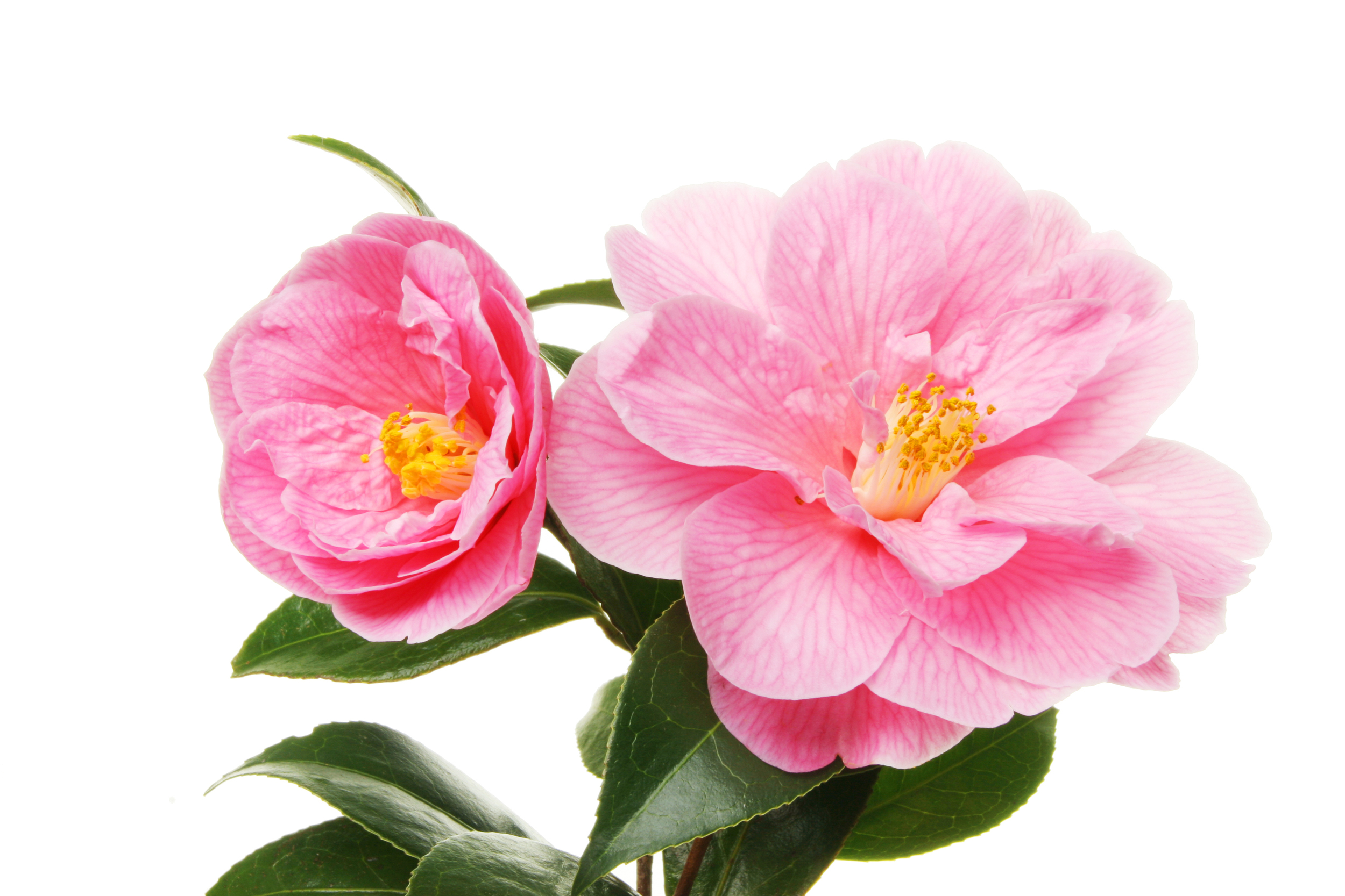 Global Beauty Secrets | Camellia Flower