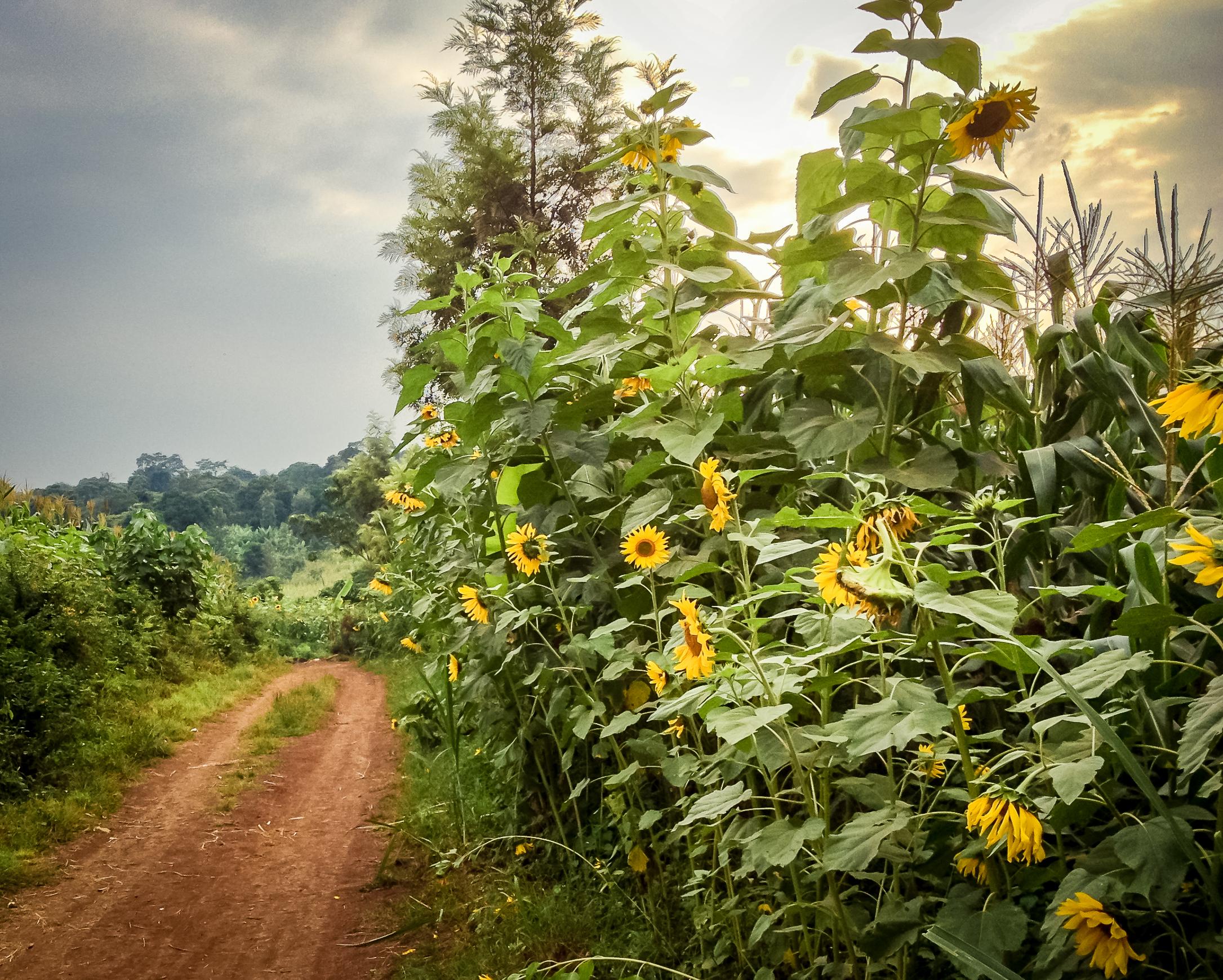 Running through the sunflower fields of Moshi, Tanzania.