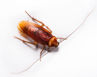 19_American Cockroach.jpg