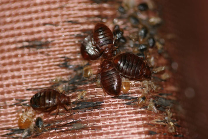 A bed bug harborage (nest): adults, instars, castings (shed skins), eggs and fecal stains.