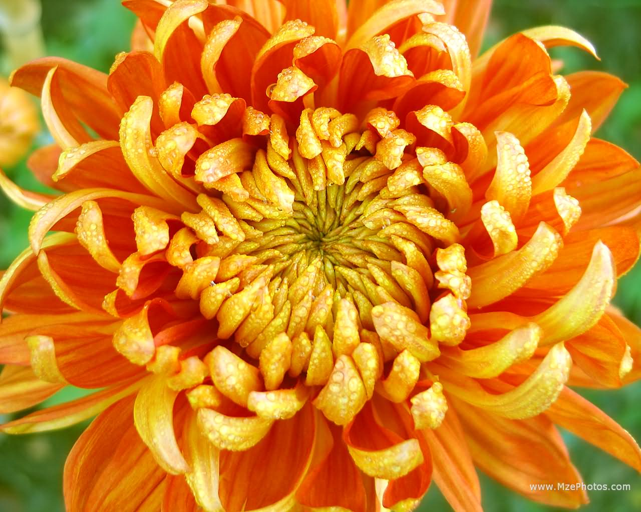 Pyrethrins are commonly used pesticides naturally derived from Chrysanthemum flowers. Potent and toxic. Pyrethroids are their synthetic relatives.