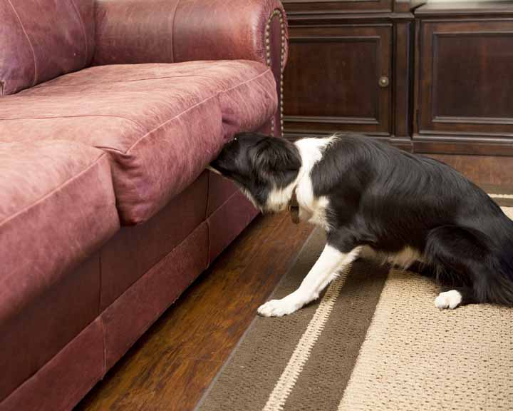 On the job:  A trained Border Collie alerting on the presence of bed bugs in a couch.