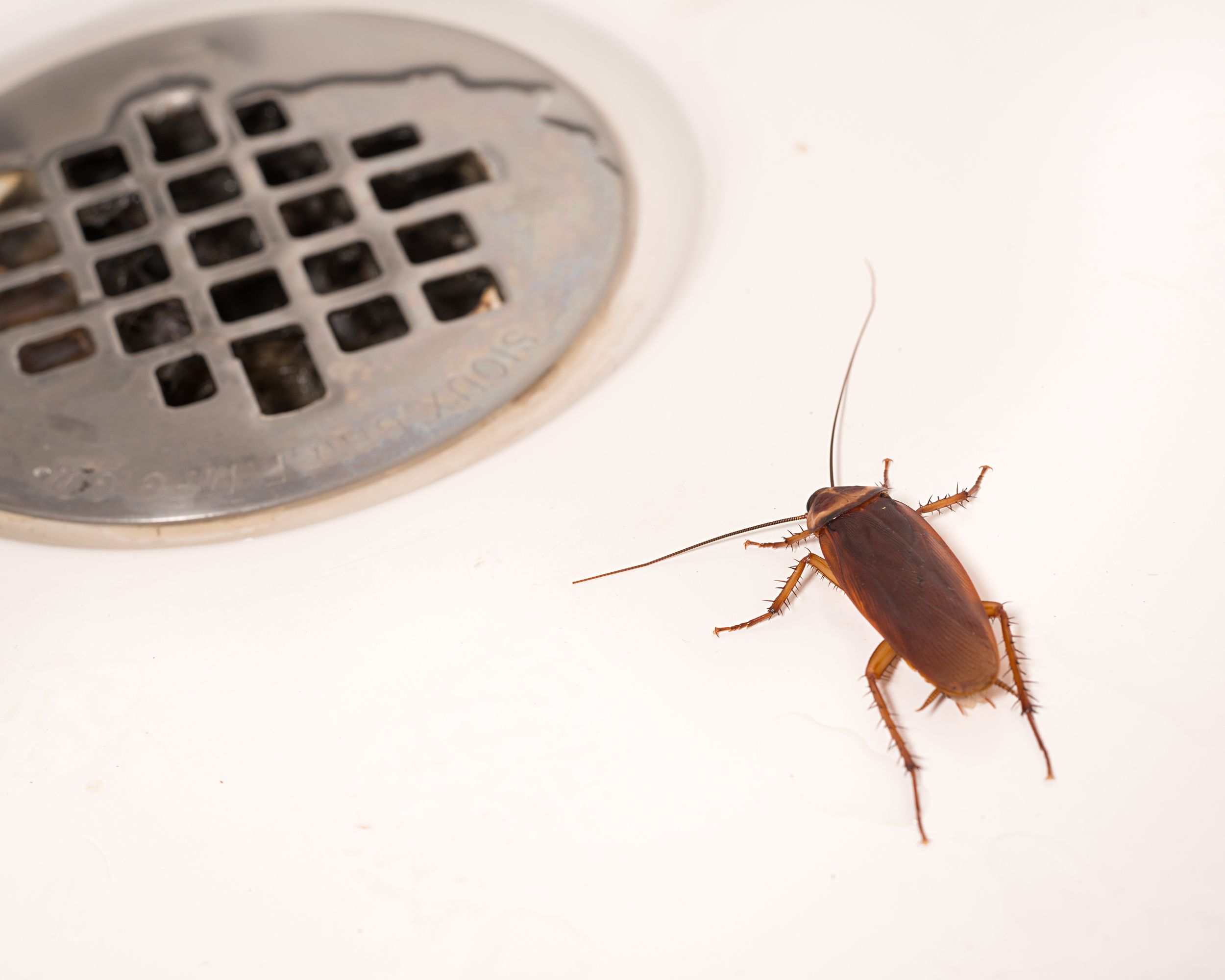 American Cockroaches are the largest native cockroach species. Reddish brown in color, they're typically found in dark, moist areas like drains, sewers, trash rooms, gutters, etc.
