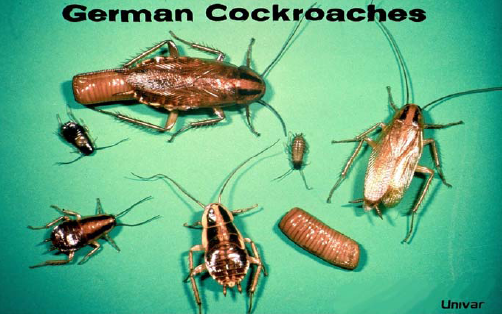 German cockroach life-cycle.  Photo compliments of Univar