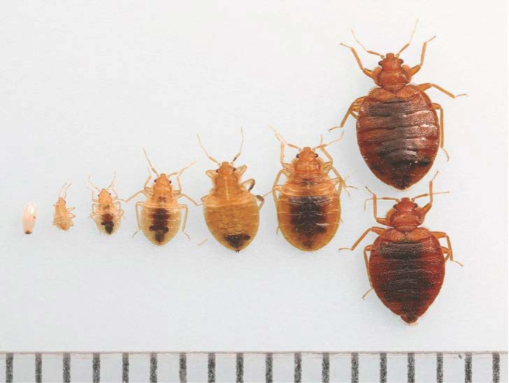 Bed bug growth stages: Photo credit Dr. Dong Hwan Choe, UC Riverside