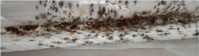 Large bed bug harborage found in mattress crease: Adults, nymphs, eggs, black fecal stains, castings, and blood stains.