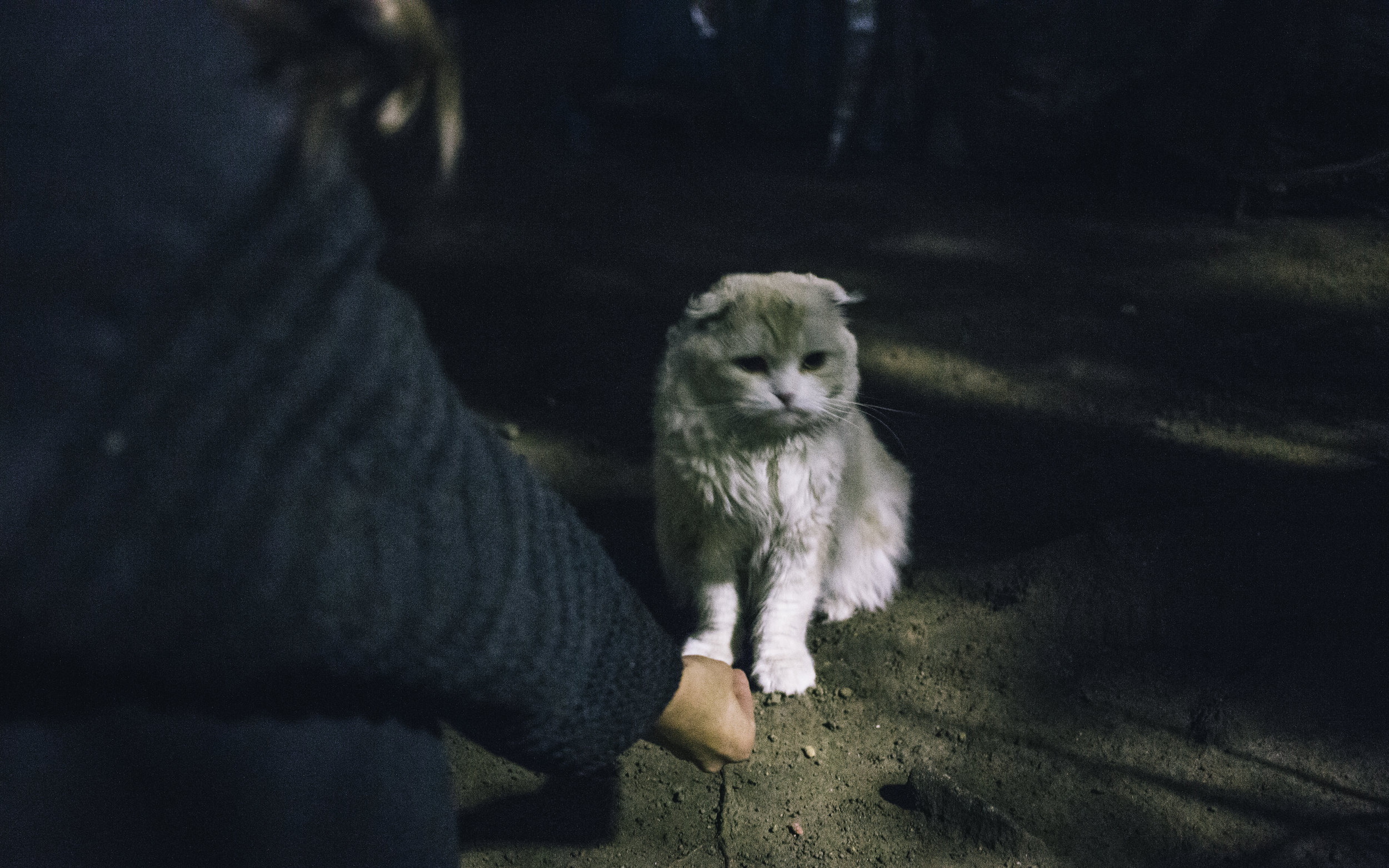 It appears to be a Persian/Scottish Fold mix.
