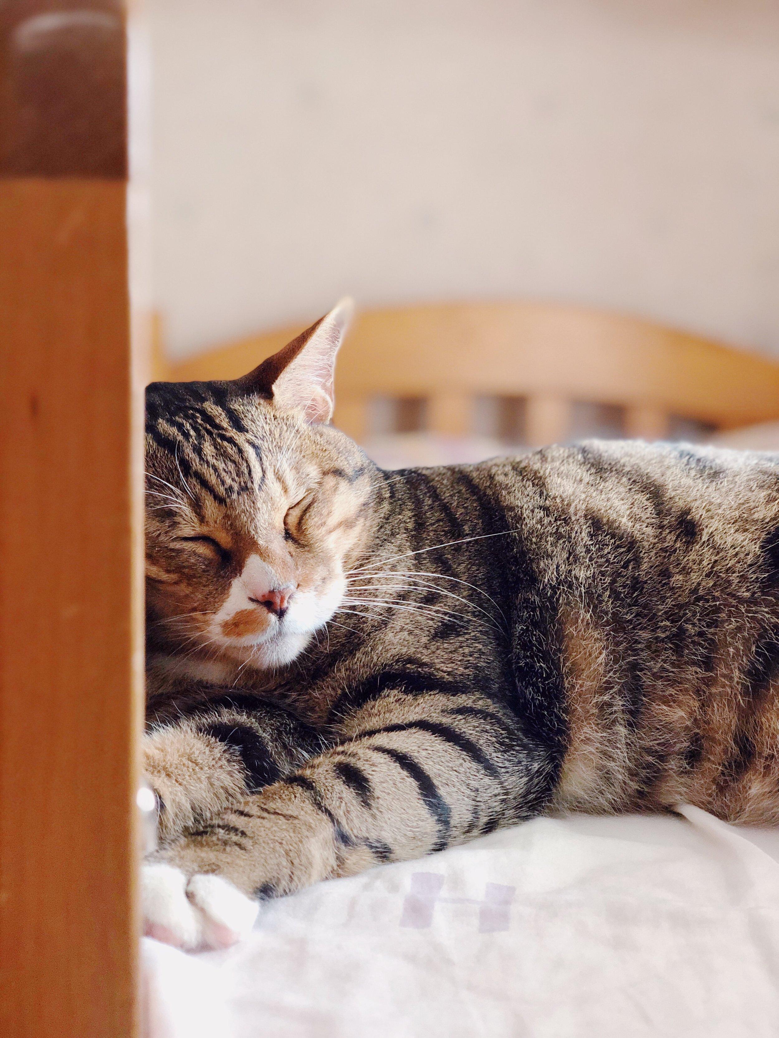 睡眠中的貓