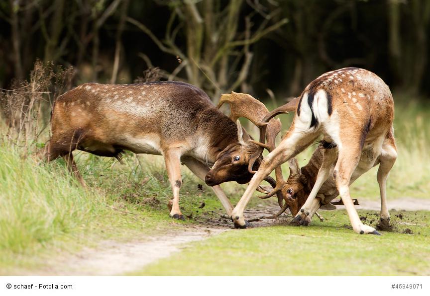 Rivalen im Tierreich