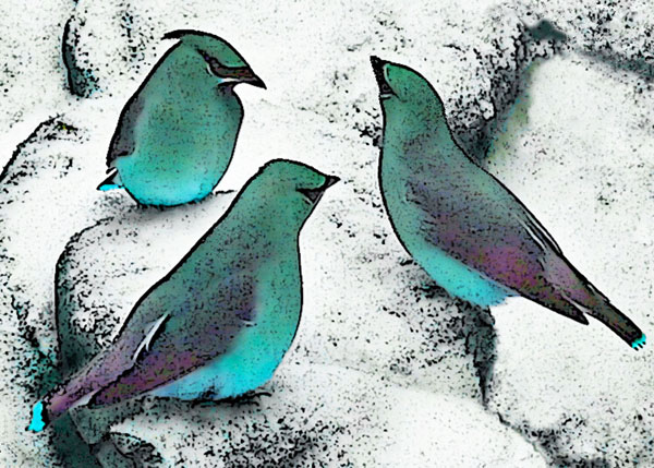 Blue Cedar Waxwings in the Snow