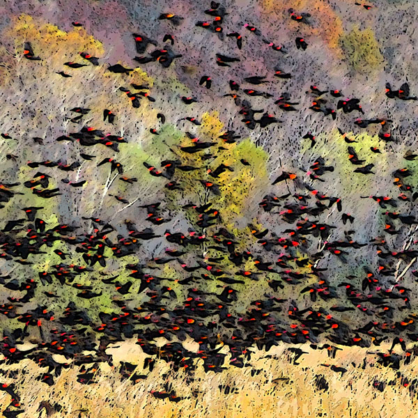 The Gathering  (Red-winged Blackbirds)