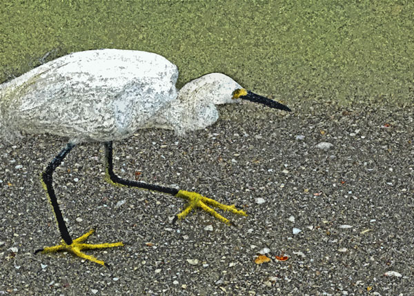 Golden Slippers  (Snowy Egret)