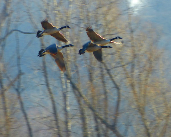 When Geese Fly  (Canada Geese)