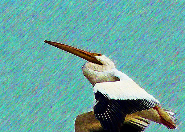 Gaining Height  (American White Pelican)