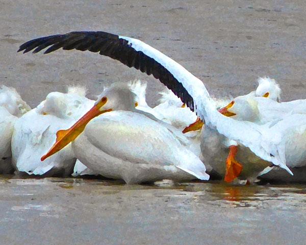 The Stretch  (American White Pelican)