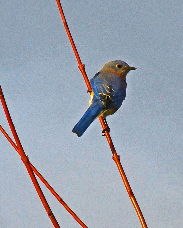 Eastern Bluebird on Red Branches