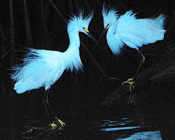 Plumage (Snowy Egrets)
