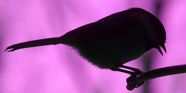 Sillouette - Black-capped Chickadee