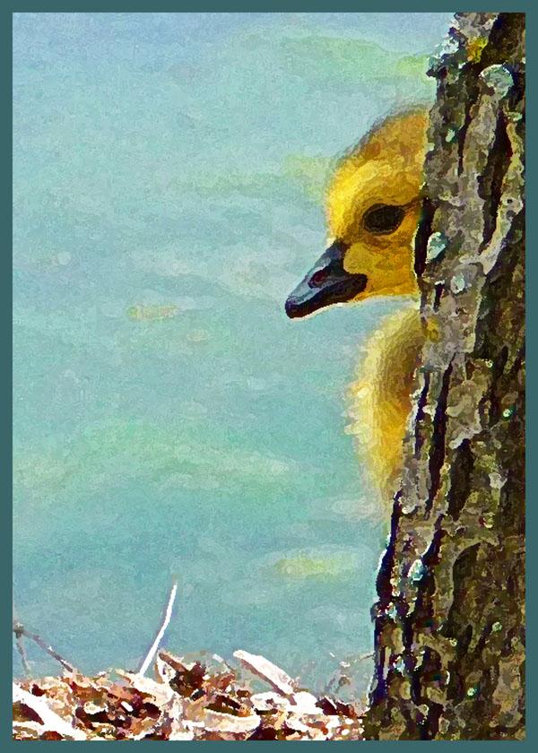 Canada Goose Gosling