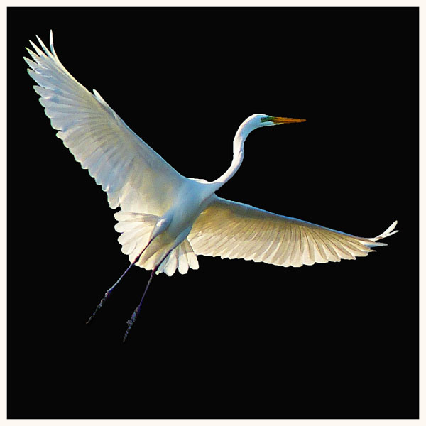 Flight  (Great Egret)