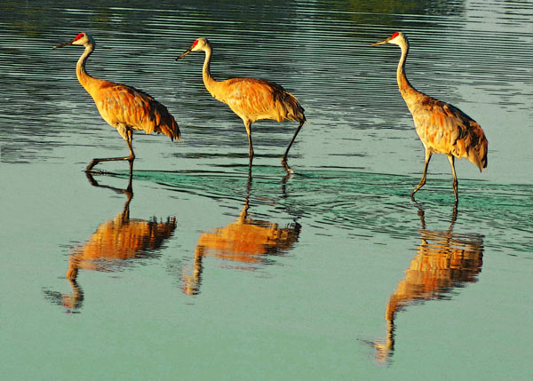 Sandhill Cranes at Eagle Bluffs