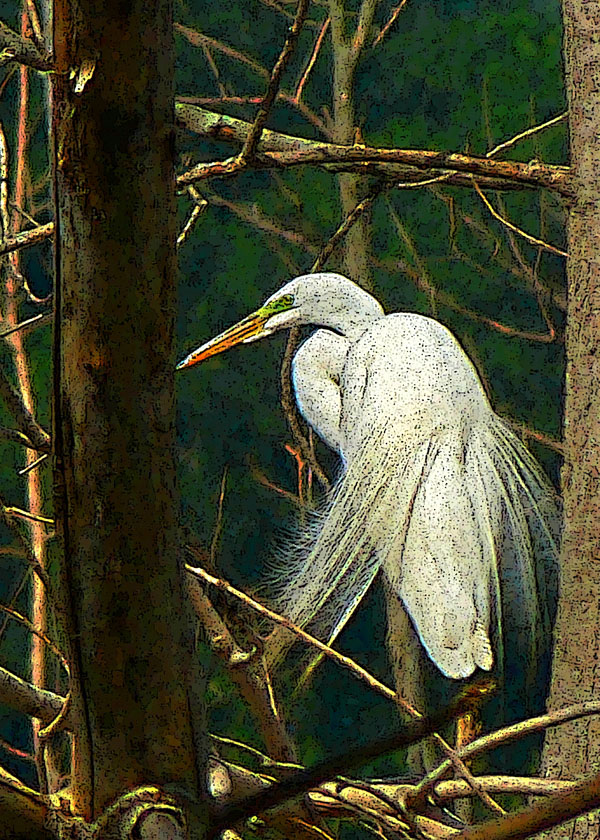 In the Trees  (Great Egret)