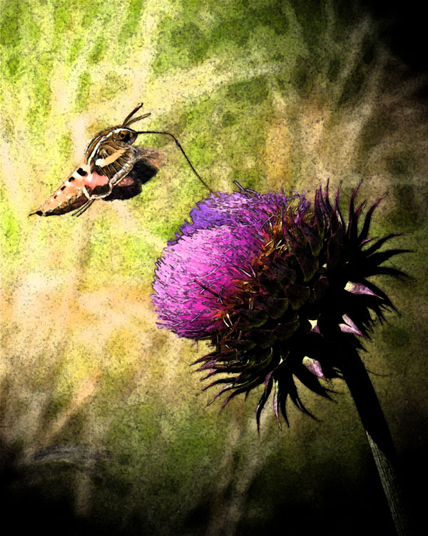 Sphynx Moth and Thistle