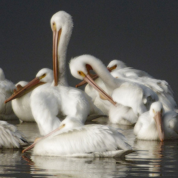 Pelicans in the Fog