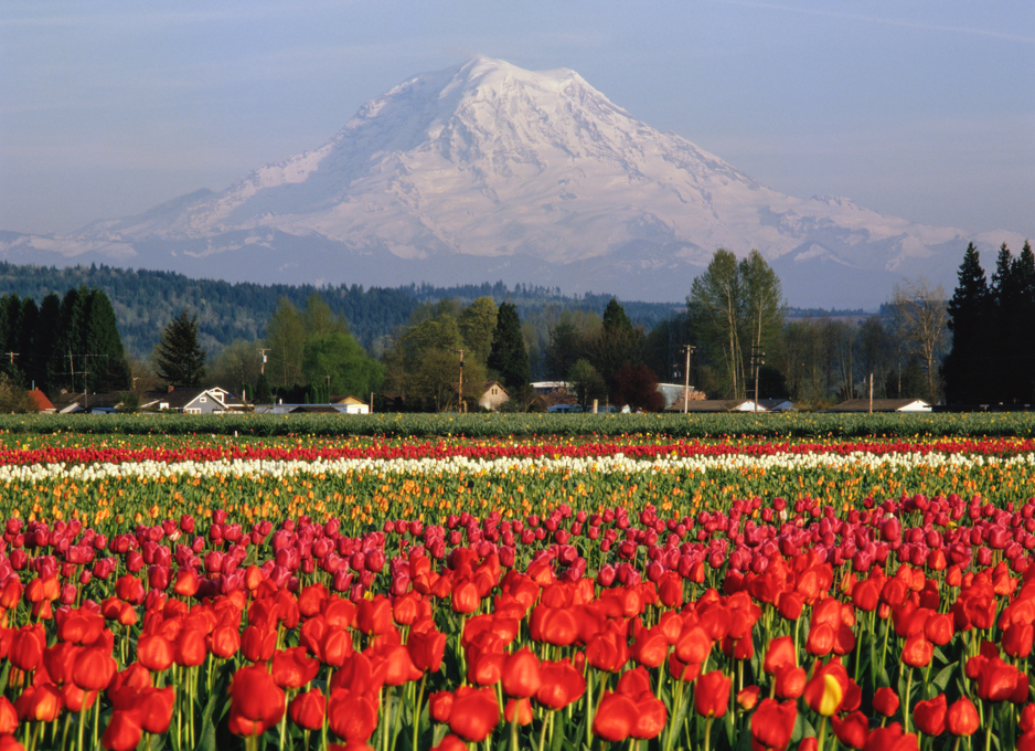 Mt. Rainier and tulips