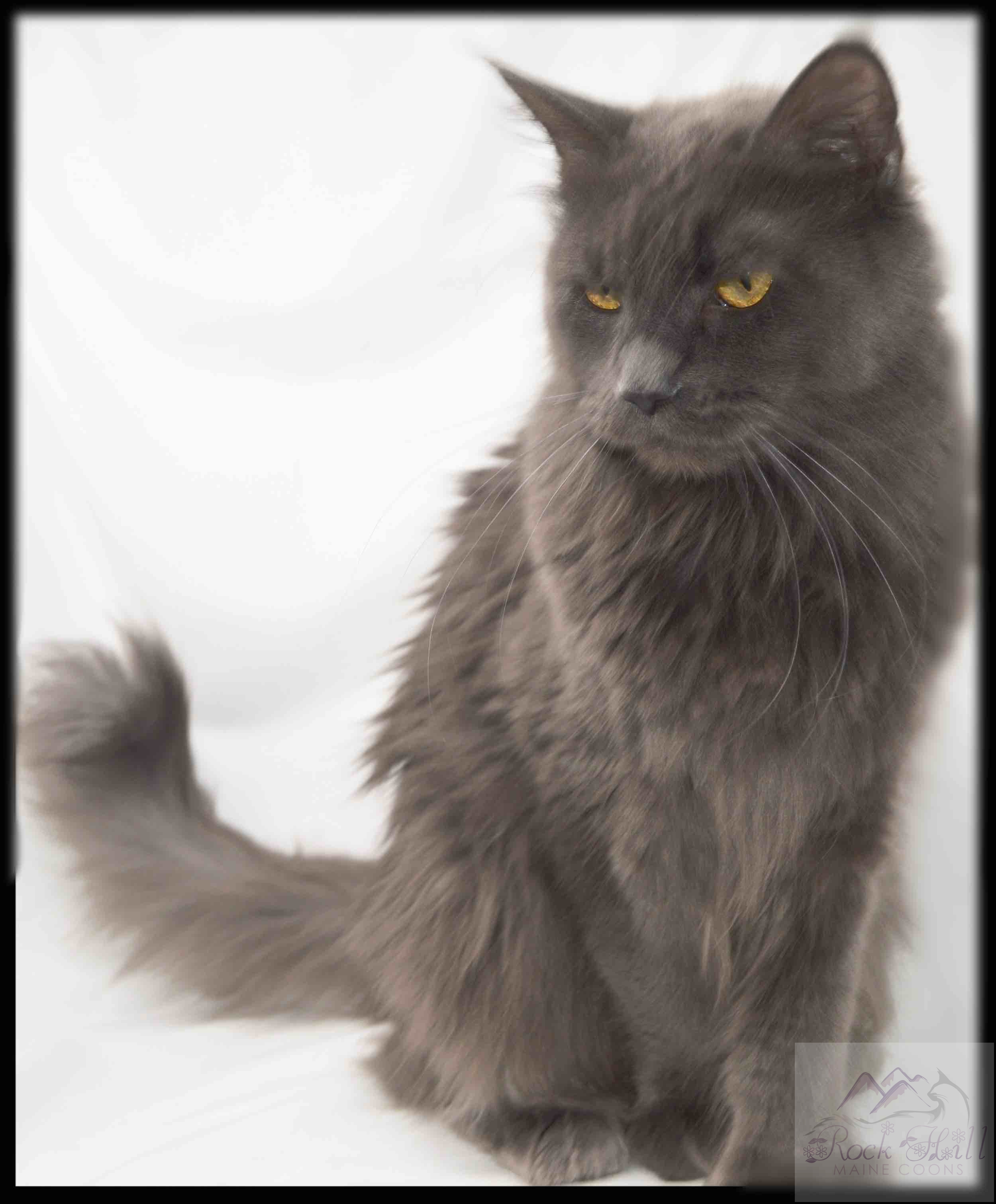 Rock Hill Maine Coon's Rebekah