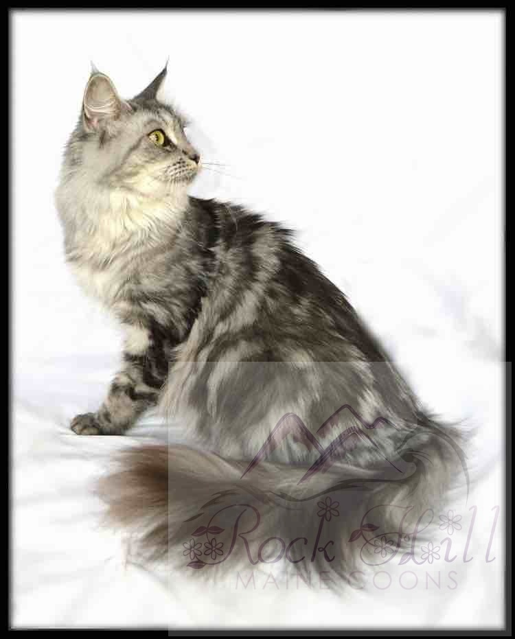 Rock Hill Maine Coon's Elianna