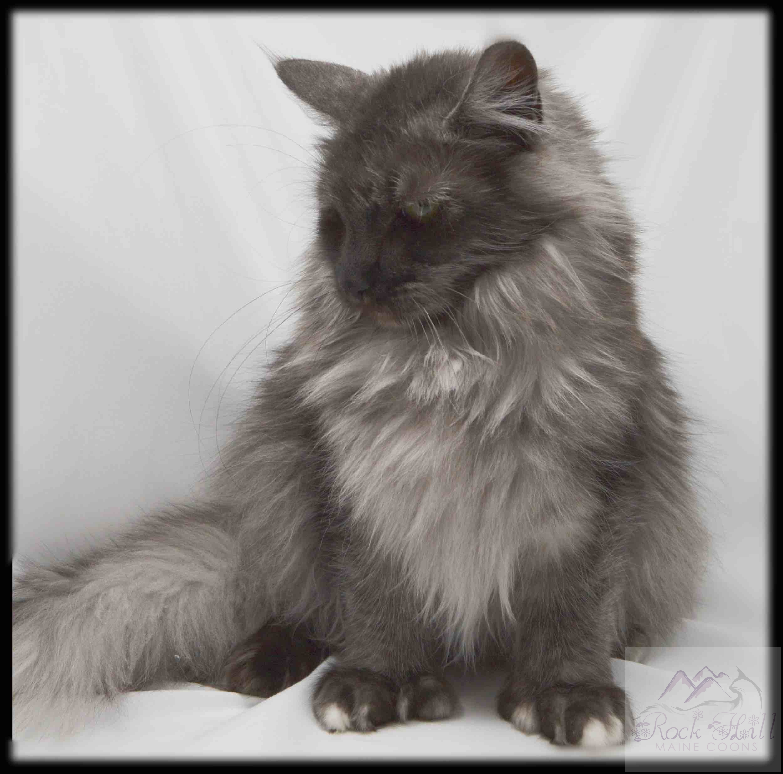 Rock Hill Maine Coon's Winterly
