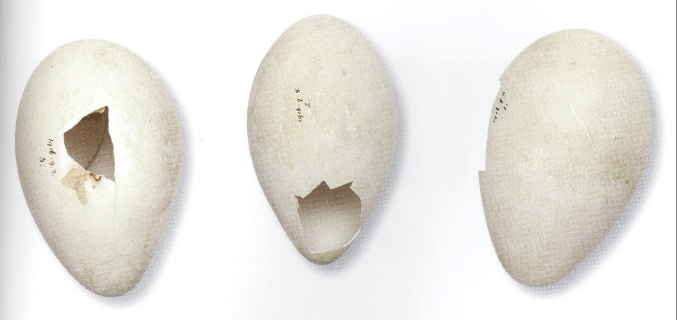 The three emperor penguin eggs collected by Wilson (the expedition's biologist and head of science) and his colleagues on 20 July 1911 are still in the collections of the Natural History Museum in London. They were presented to the Museum in 1913 by Cherry-Garrard.