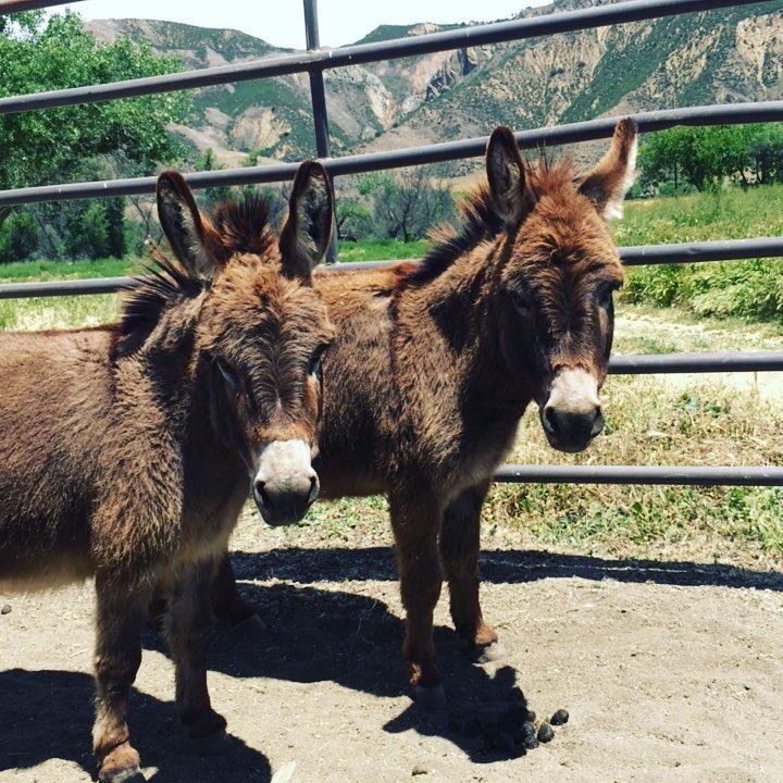 Miniature Donkey Rescue